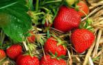 Клубника Эльвира описание сорта фото отзывы садоводов