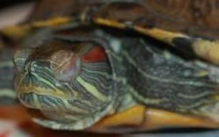 Черепаха закрыла глаза и не открывает
