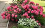 Какую розу посадить рядом с розариум ютерсен – rosa rosarium uetersen