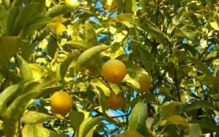 Можно ли пересаживать лимон с плодами осенью?