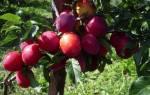 Слива уральская красная описание сорта фото отзывы – алыча для урала и сибири