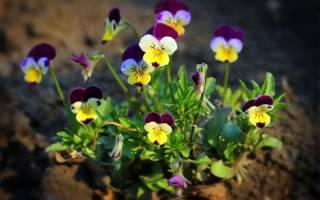 Цветы анютины глазки фото посадка и уход