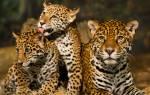 Леопард интересные факты для детей