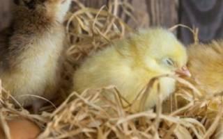 Сколько времени курица высиживает цыплят?