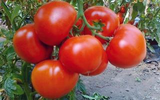 Томат Екатерина великая отзывы фото урожайность