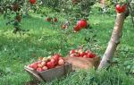 Когда лучше садить яблони весной или осенью: как правильно посадить яблоневый сад?
