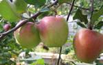 Яблоня зимняя красавица описание сорта фото отзывы