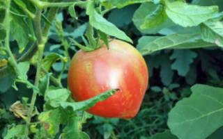 Томат испанский розовый отзывы фото урожайность