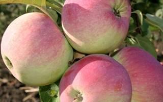 Сорт яблок свежесть фото и описание