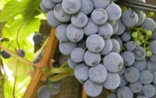 Когда сажать виноград в средней полосе?