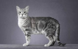Дымчатая кошка с желтыми глазами порода – кот серый с белым