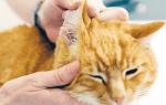 У кота гниют уши что делать — у кошки гноится ухо чем лечить