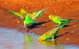 Попугаи Австралии фото с названиями