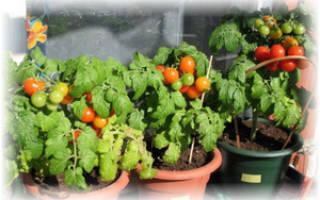 Как ухаживать за помидорами в домашних условиях – томаты на подоконнике зимой