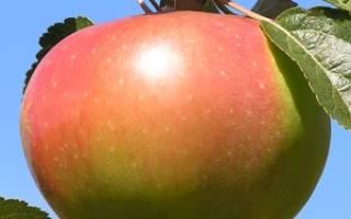 Яблоня вербное описание сорта фото отзывы