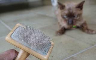 Перхоть у кота что делать, лечение перхоти у кошек