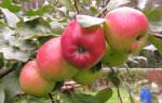 Сорт яблони веньяминовское фото и описание сорта
