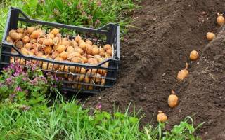 Что садить после картофеля на следующий год – чем засадить огород вместо картошки?