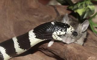 Молочные змеи в домашних условиях, чем кормят змей?