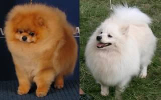 Чем отличается шпиц от померанского шпица: цвергшпиц фото взрослой собаки