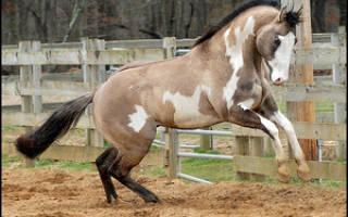 Каурая масть лошади это какой цвет – каурый жеребец