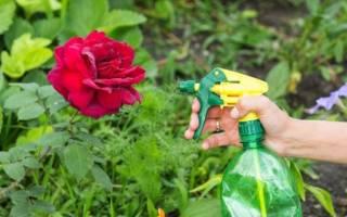 Чем обработать розы от тли народными средствами?