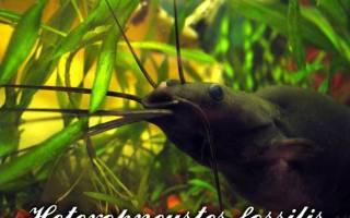Мешкожаберный сом совместимость с другими рыбами