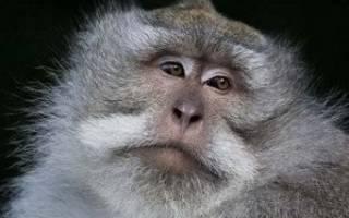 Обезьяны всеядные или травоядные: что едят приматы?