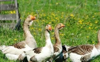 Как избавиться от соседских гусей: чем отравить курей?