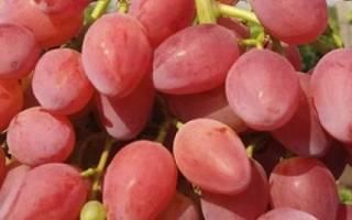 Сорт винограда лучистый фото и описание отзывы