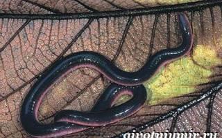 Представителями какого класса являются червяги, земноводные черви