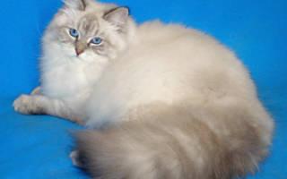 Невская маскарадная кошка отзывы