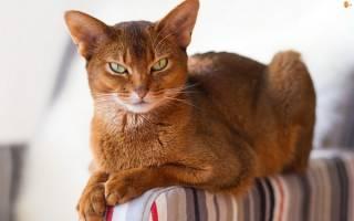 Какая самая красивая кошка в мире, рейтинг кошек