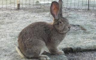 Кролики фландеры сколько весит