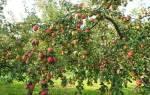 Яблоня рубин описание фото отзывы