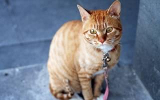 У кота увеличена печень чем лечить: гепатомегалия у кошек