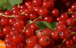 Как правильно посадить красную смородину осенью?