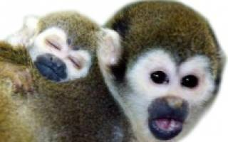 Что любят обезьяны есть: шимпанзе чем питаются