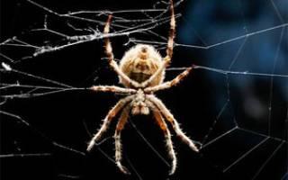 Сколько у паука лапок: сколько лап у?