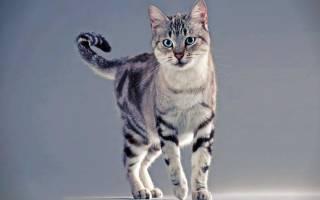 Кошки с мраморным окрасом порода