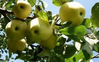 Яблоня янтарь описание сорта фото отзывы