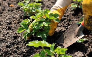 Как сажать клубнику расстояние между кустами, как посадить землянику на грядку?