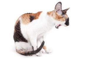 Кошка срыгивает после еды что делать — почему кот часто рыгает?