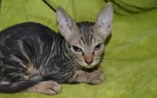 Донской сфинкс браш велюр фото: брашики котята