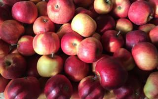 Сорт яблони беркутовское фото и описание сорта