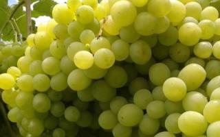 Сорт винограда алешенькин фото и описание отзывы