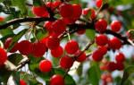 Лучшие сорта вишни для средней полосы