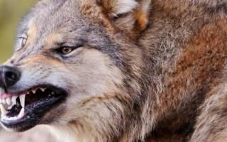 Как выглядит волкодав собака фото?