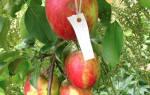 Яблоня коваленковское описание сорта фото отзывы