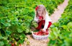 Клубника монтерей описание сорта фото отзывы садоводов